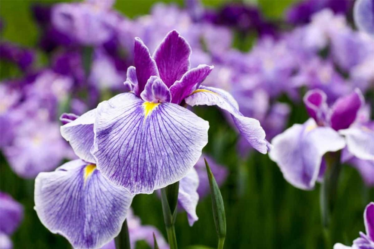 Hoa diên vĩ: Được đặt tên theo vị thần Hy Lạp Iris - nữ thần cầu vồng, cũng là người truyền tin của các vị thần Olympus, loài hoa này có nhiều ý nghĩa khác nhau nhưng nó thường được liên hệ với hoàng gia. Ngoài ra, hoa diên vĩ cũng đại diện cho sự tin tưởng và trí tuệ.