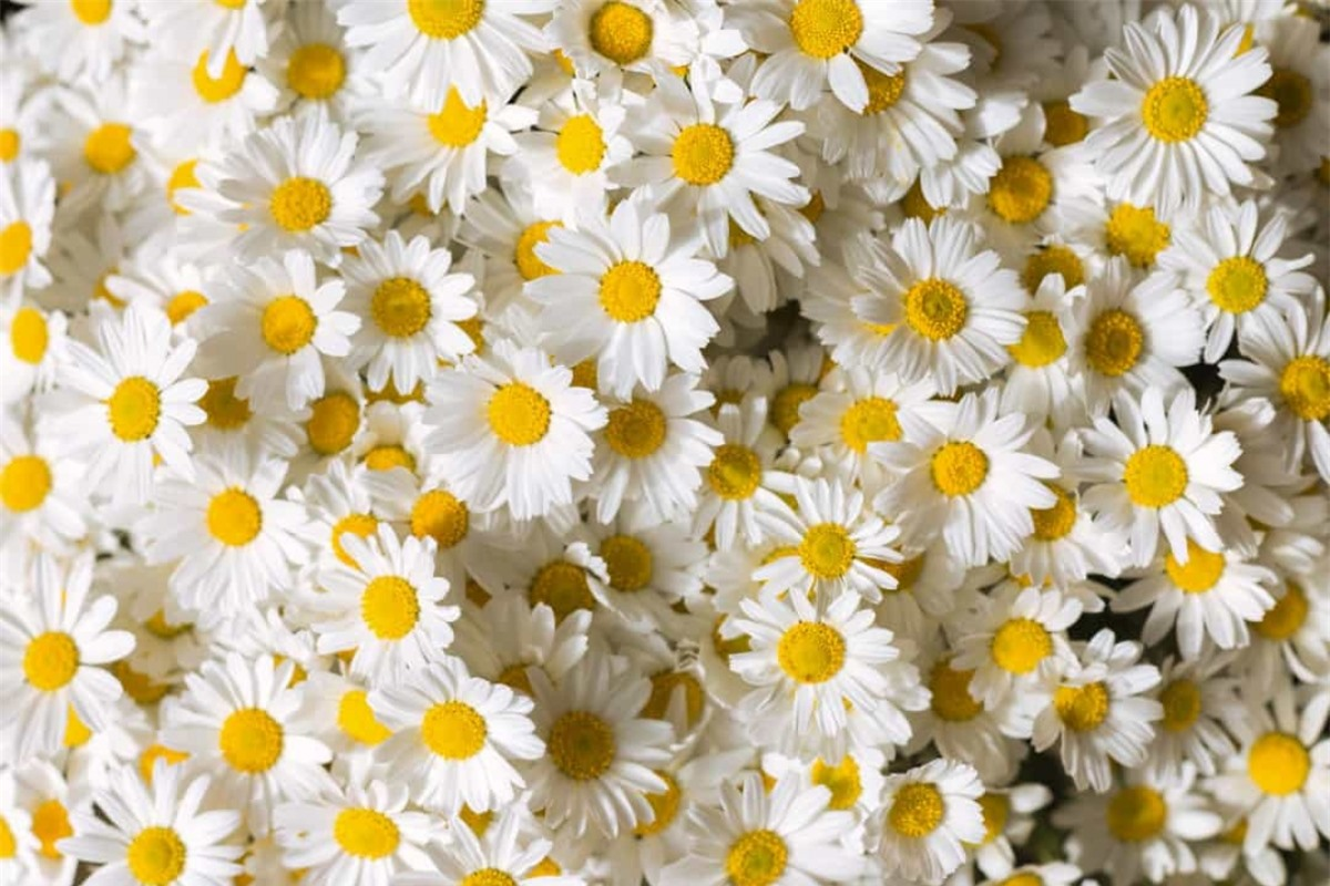 """Hoa cúc: Cái tên của loài hoa này xuất phát từ một từ tiếng Anh cổ """"dægesege"""", có nghĩa là """"đôi mắt của ngày"""" bởi các cánh hoa hé mở lúc bình minh và khép lại khi hoàng hôn. Hoa cúc tượng trưng cho sự thuần khiết, trong sáng, những khởi đầu mới, tình yên và sự an yên./."""