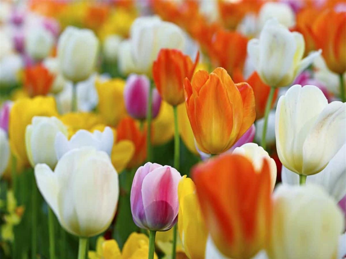 Tulip: Biểu tượng cho danh tiếng và tình yêu hoàn hảo, hoa tulip lần đầu tiên được trồng ở Ba Tư và Thổ Nhĩ Kỳ. Hiện chưa rõ nguồn gốc của cái tên này mặc dù người Ba Tư thường đội những chiếc khăn có hình hoa tulip và người Thổ Nhĩ Kỳ coi loài hoa này có ý nghĩa như thiên đường trên mặt đất.