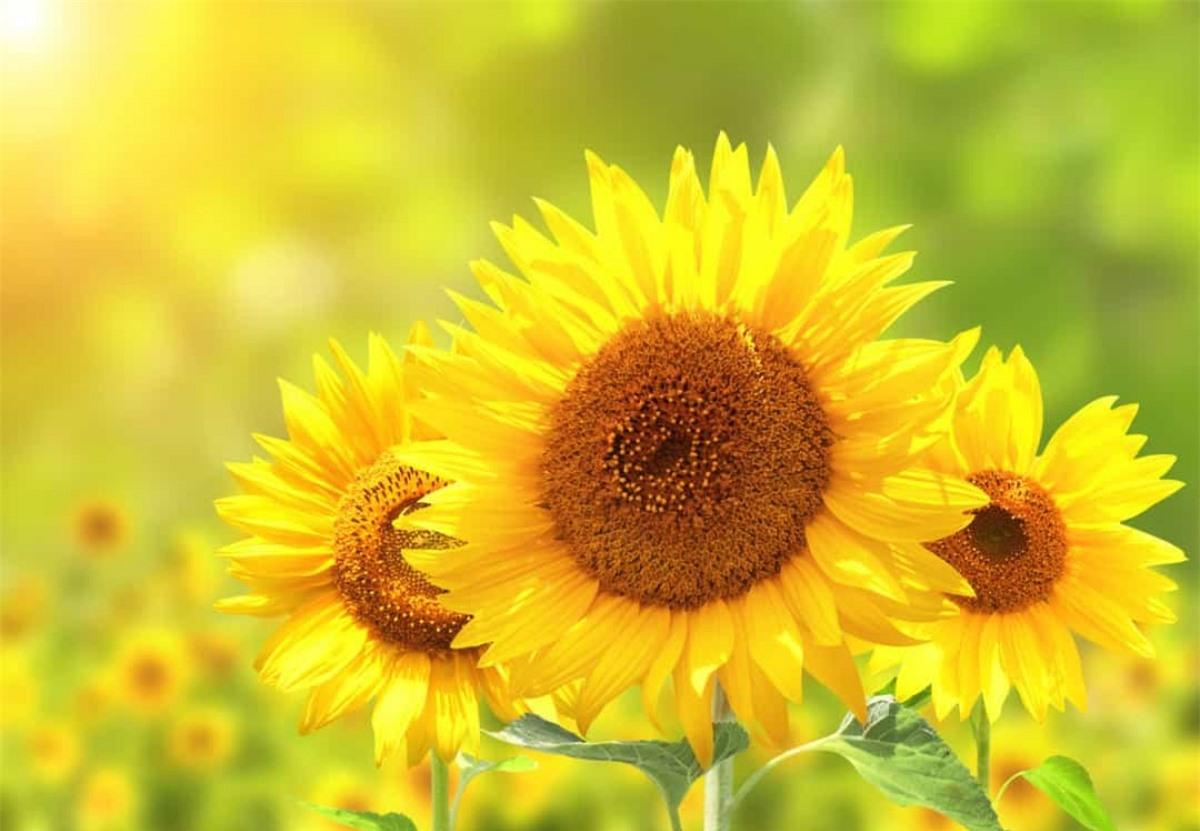 Hoa hướng dương: Hoa hướng dương biểu tượng cho cuộc sống lâu dài, sự tươi sáng và đáng yêu.