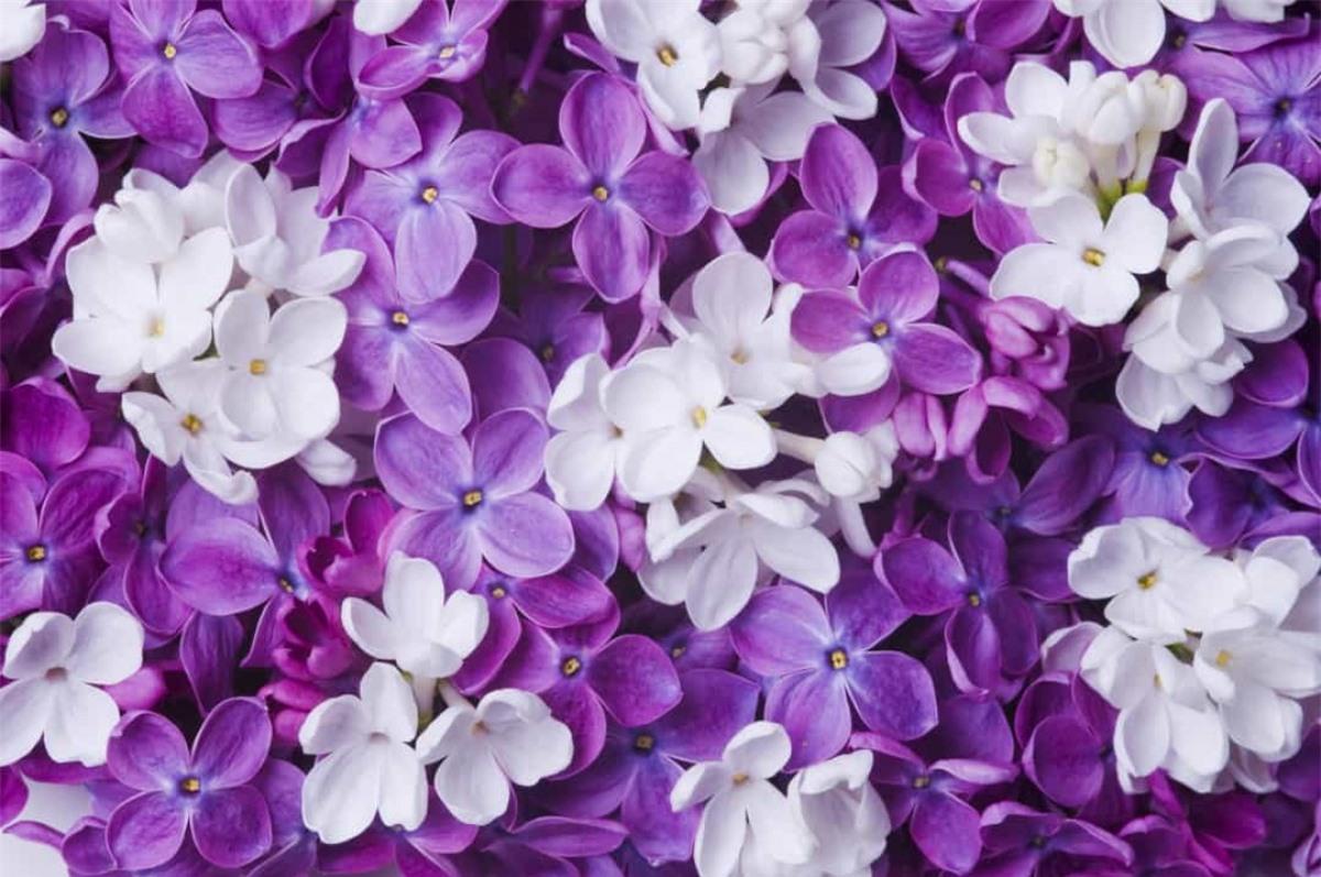 Hoa tử đinh hương: Là loài hoa báo hiệu mùa xuân, loài hoa này tượng trưng cho sự thay đổi, nhưng đồng thời cũng mang ý nghĩa về sự hoài niệm và những ký ức khó phai.
