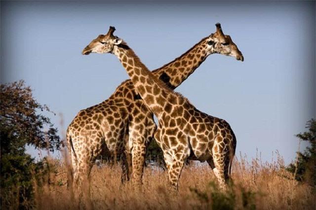 Hành vi đồng tính luyến ái ở động vật ảnh 2