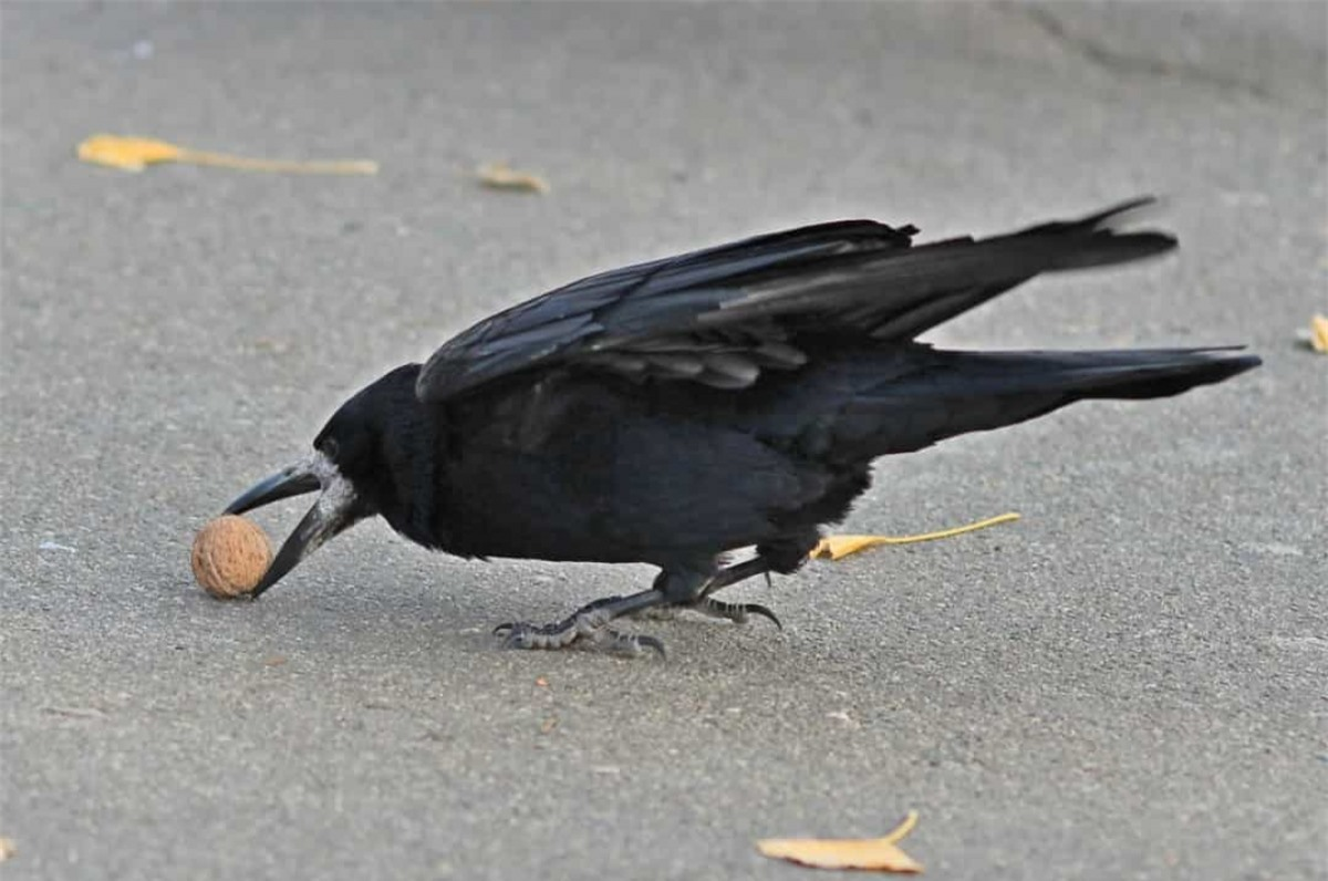 Những con quạ rất thông minh với khả năng bẩm sinh giải quyết những vấn đề đơn giản một cách nhanh chóng, chẳng hạn như đặt các loại hạt trên đường cho xe cộ đi qua và công việc của nó chỉ là thưởng thức phần ngon lành bên trong hạt.