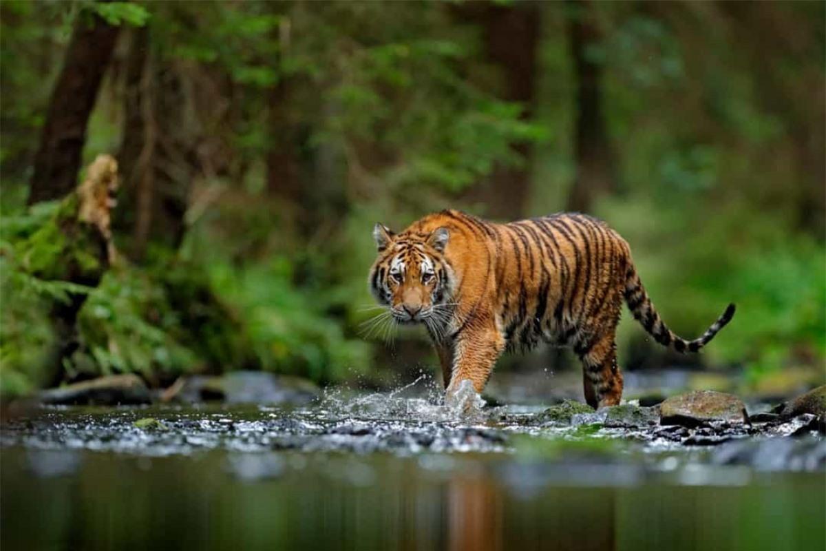 Những sọc màu đen trên mỗi con hổ cũng độc nhất vô nhị như vân tay của con người.