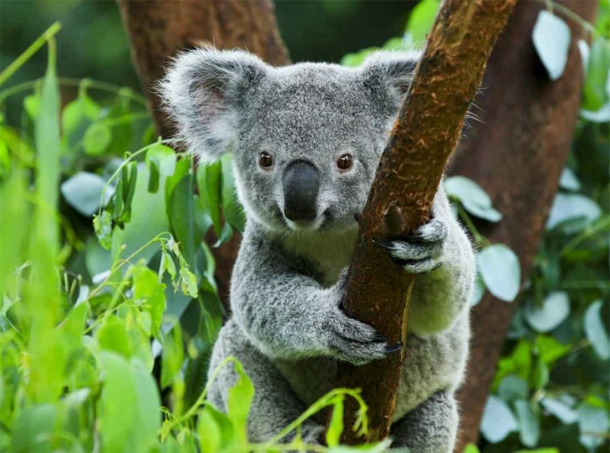 Điều độc đáo ở những chú gấu koala là chúng có vân tay gần giống với con người.
