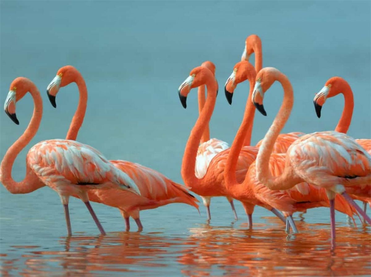 Hồng hạc không phải có màu hồng từ ban đầu. Trên thực tế, chúng có màu xám. Thứ khiến cho loài chim này có màu sắc đặc biệt là do chúng ăn tôm và các loài tảo biển màu xanh lục, vốn chứa chất nhuộm màu tự nhiên. Dần dần, điều này khiến bộ lông của chúng chuyển sang thành màu hồng.