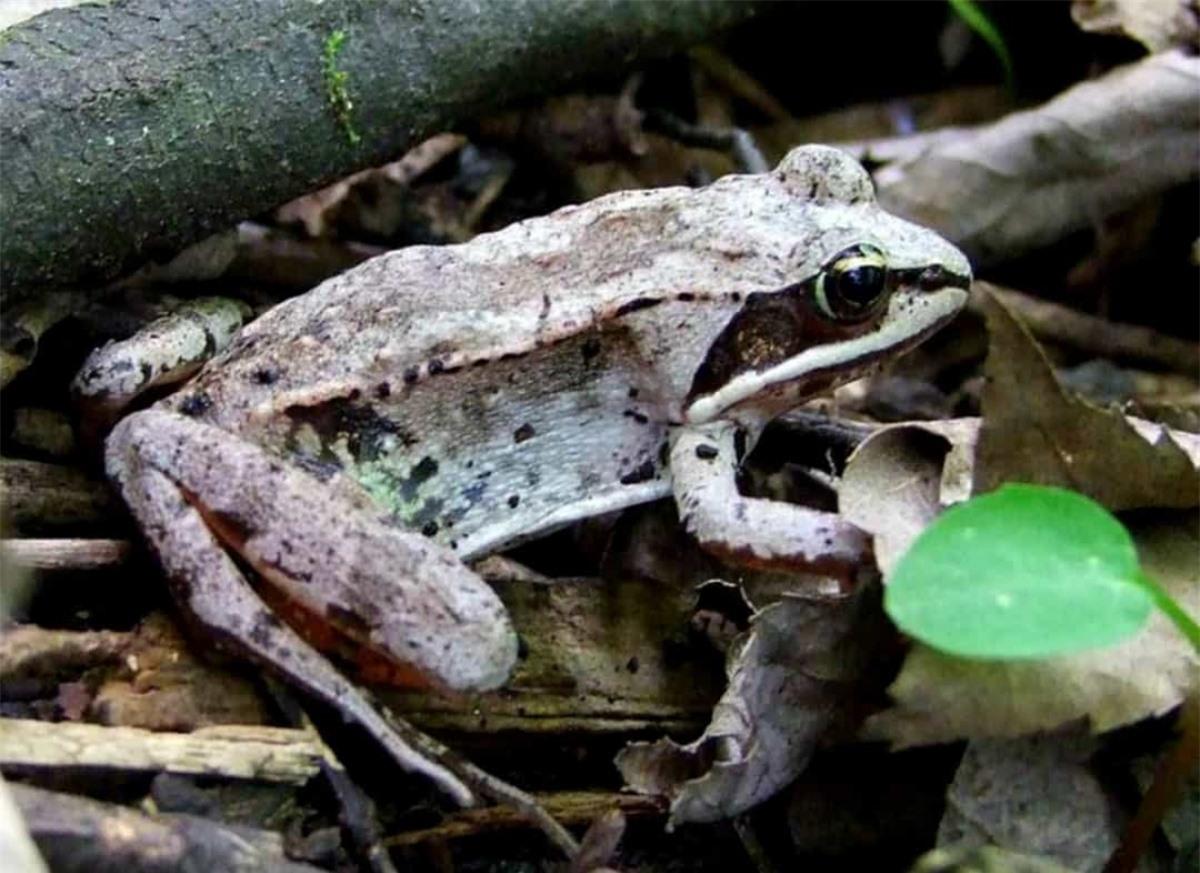 Những con ếch trong rừng ngủ đông trong trạng thái gần như đã chết. Tim của chúng đập rất chập, băng tuyết hình thành trong mạch máu. Tuy nhiên, khi thời tiết ấm lên, loài sinh vật này bắt đầu thở và trái tim nhỏ bé của nó đập trở lại.
