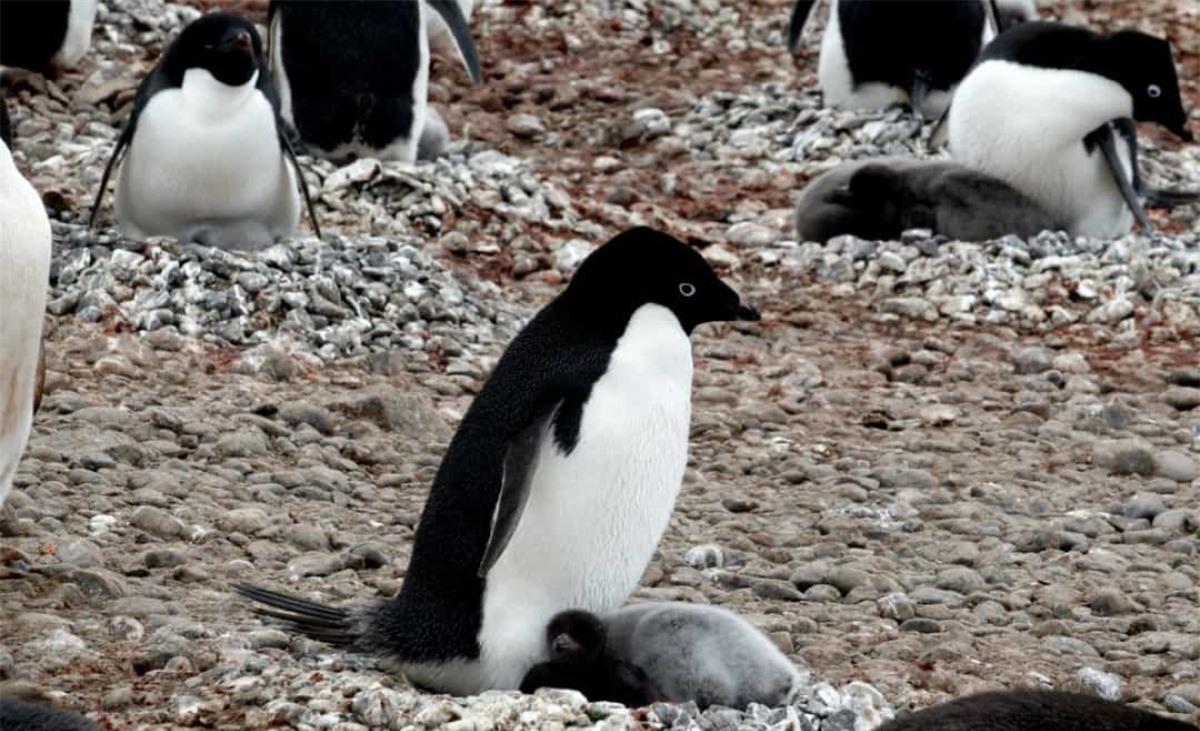 Dọc các bờ biển của Nam cực, chim cánh cụt Adélie làm tổ từ sỏi và đá cuội để giúp bảo vệ trứng của chúng.
