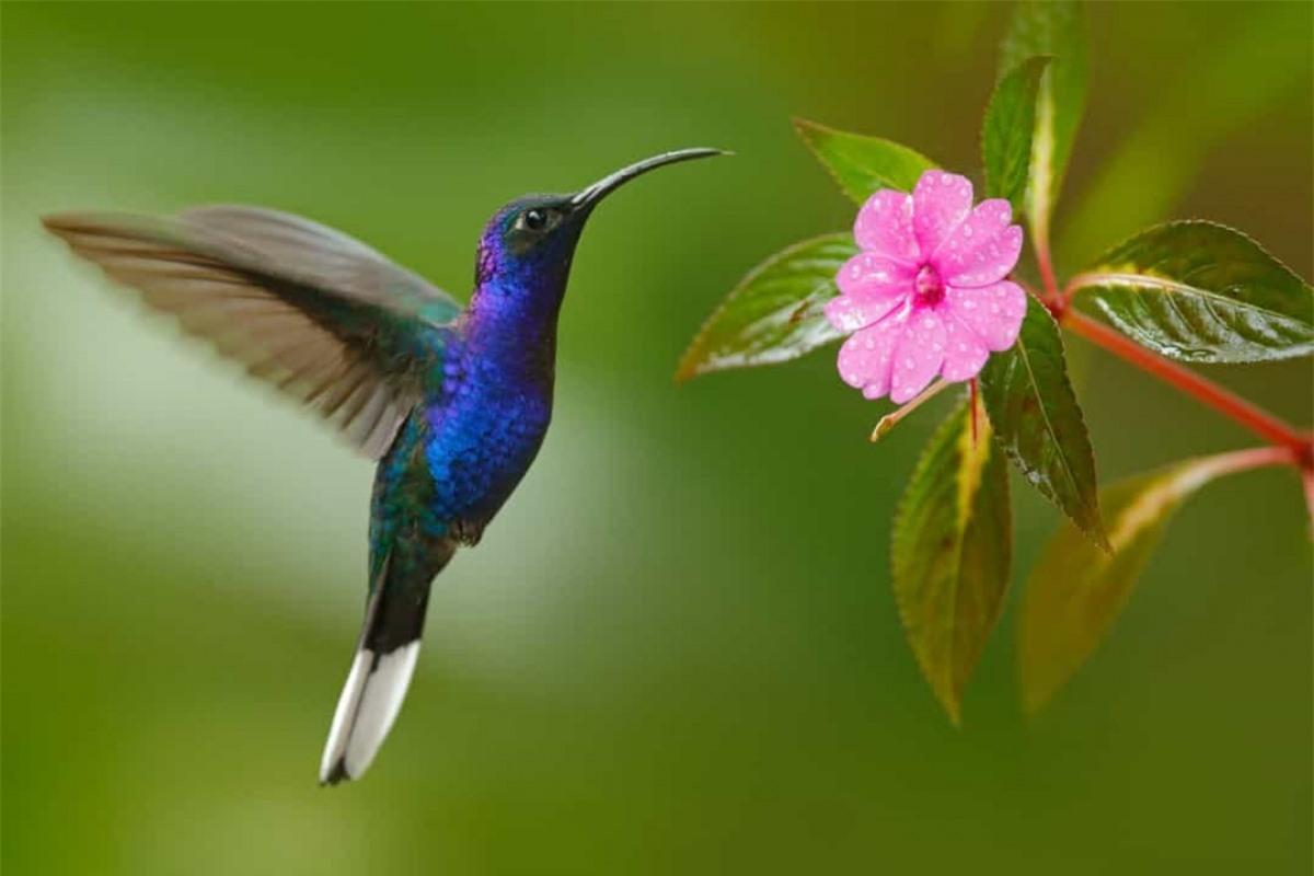 Chim ruồi là loài chim duy nhất trên thế giới có thể bay lùi.
