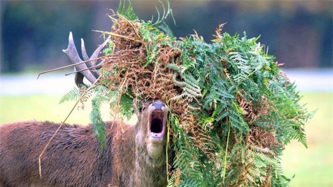 Hươu đực làm đỏm với 'tóc giả' bằng lá cây ảnh 1