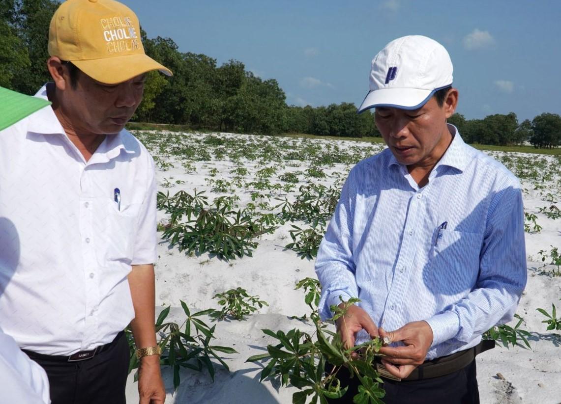 Phó Chủ tịch UBND tỉnh Thừa Thiên Huế Nguyễn Văn Phương kiểm tra tình hình bệnh khảm lá trên cây sắn tại xã Phong Hiền, huyện Phong Điền.