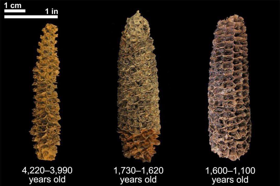 Lõi ngô có niên đại từ 4.000 năm (trái) đến 1.000 năm (phải). Ảnh: Thomas Harper.