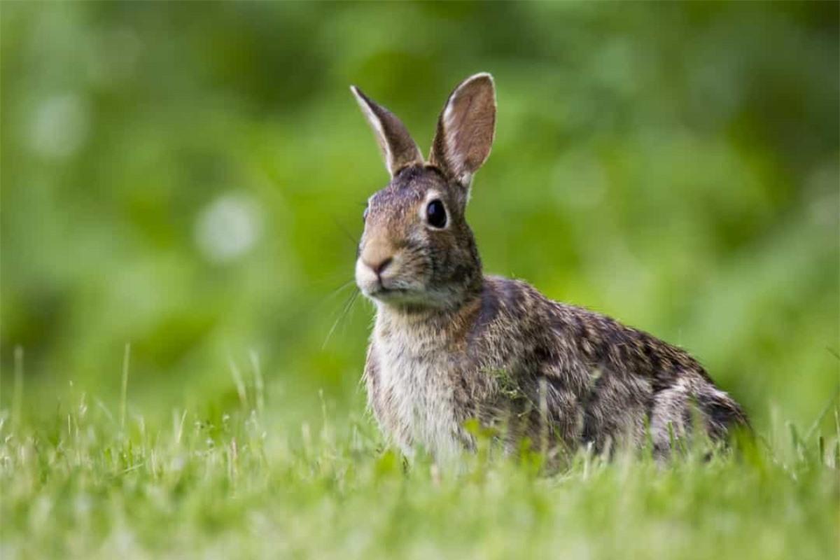 Theo BBC, nạn nhân duy nhất của quả bom đầu tiên phát nổ ở Anh trong Thế chiến II là một chú thỏ.