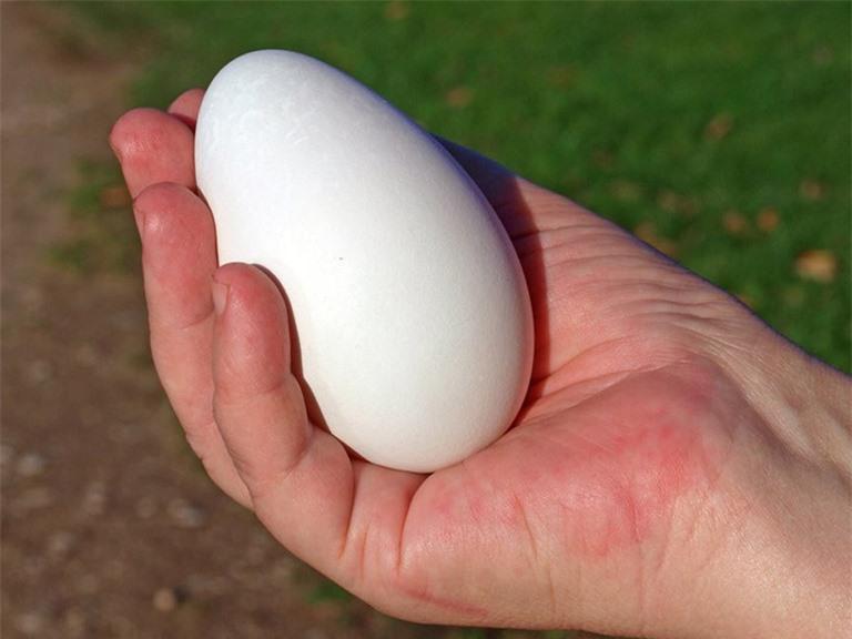 Trứng ngỗng to hơn trứng gà, trứng vịt nhưng giá trị dinh dưỡng không bằng.