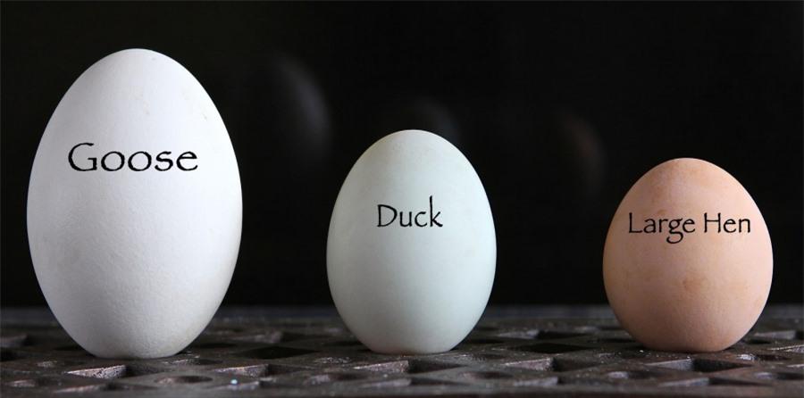 Kích thước của trứng ngỗng - trứng vịt - trứng gà.