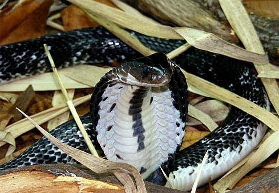 Những loài rắn hổ mang thực sự sống ở Việt Nam, tại sao không có hổ mang chúa? - Ảnh 3.