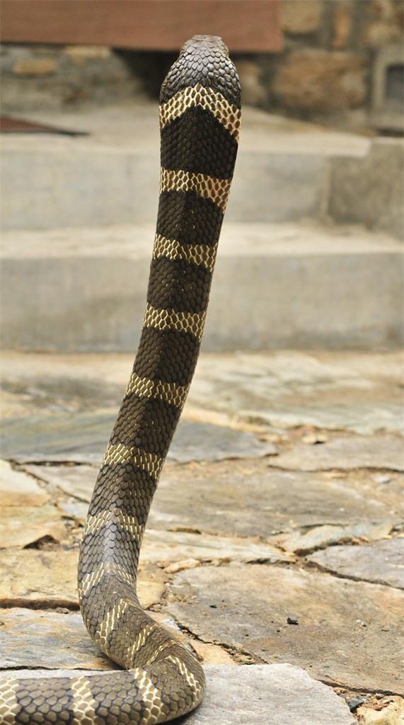Những loài rắn hổ mang thực sự sống ở Việt Nam, tại sao không có hổ mang chúa? - Ảnh 4.