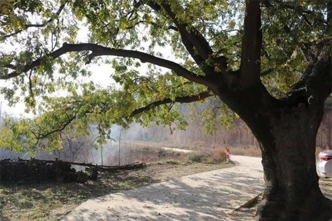 Bí ẩn cây cổ thụ 400 năm, chữa được nhiều bệnh cho dân làng ảnh 1