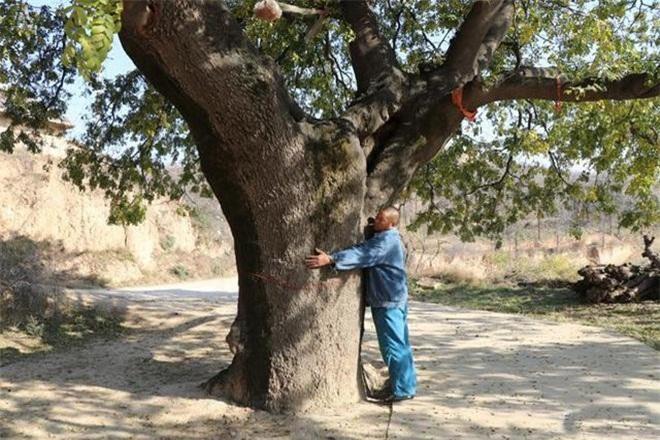 Bí ẩn cây cổ thụ 400 năm, chữa được nhiều bệnh cho dân làng ảnh 2