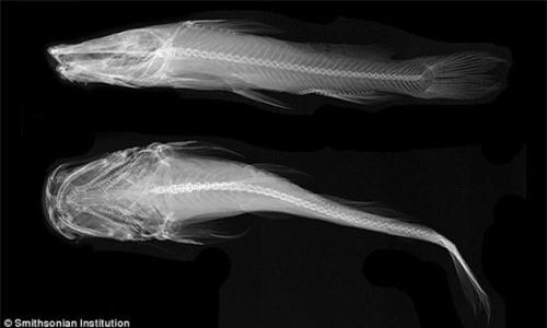 Bí ẩn loài cá quỷ không mắt dưới đáy đại dương - 3