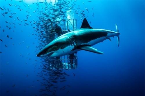 Những hình ảnh đẹp nhất về các loại cá mập, sát thủ đại dương (phần 1) - 11