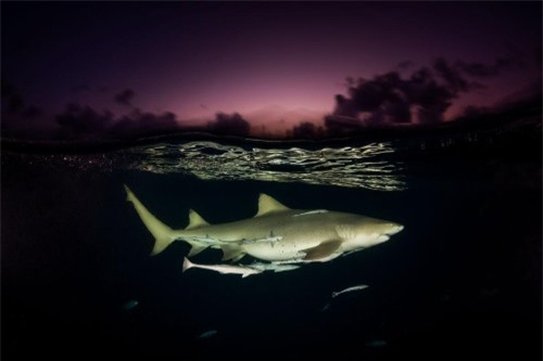 Những hình ảnh đẹp nhất về các loại cá mập, sát thủ đại dương (phần 1) - 15