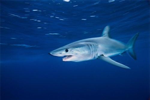 Những hình ảnh đẹp nhất về các loại cá mập, sát thủ đại dương (phần 1) - 16
