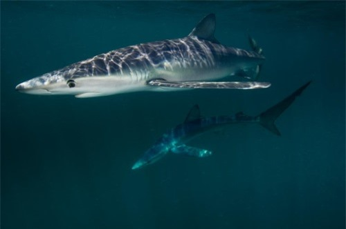Những hình ảnh đẹp nhất về các loại cá mập, sát thủ đại dương (phần 1) - 4