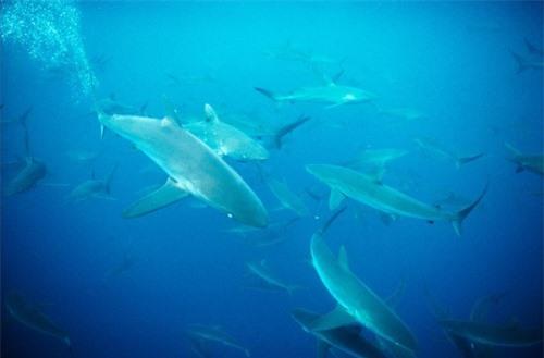 Những hình ảnh đẹp nhất về các loại cá mập, sát thủ đại dương (phần 1) - 6