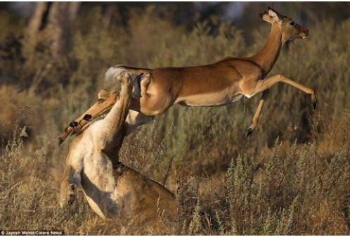 Cú nhảy thần kỳ giúp linh dương thoát nanh vuốt sư tử trong 'một nốt nhạc'