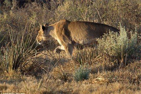 Trong chuyến du lịch tới một khu bảo tồn động vật hoang dã ở Botswana, nhiếp ảnh gia Jayesh Mehta đến từ Chicago (Mỹ), đã may mắn ghi lại được khoảnh khắc một con linh dương thoát chết ngoạn mục khỏi cuộc tấn công của một con sư tử cái.