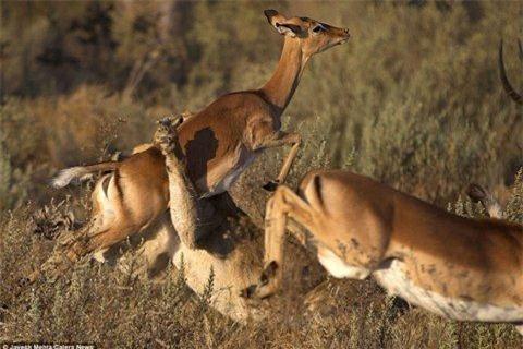 Những bức ảnh của nhiếp ảnh gia người Mỹ cho thấy sau khi bị con sư tử cái tấn công, con linh dương đã thực hiện một cú nhảy với mọi sức lực của nó để thoát khỏi móng vuốt và hàm răng chắc khỏe của kẻ săn mồi.