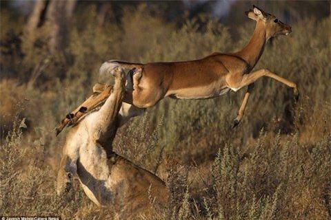 Sự cố gắng của con linh dương đã giúp nó rút chân khỏi miệng con sử tử đói trước khi cao chạy xa bay.
