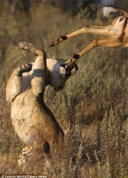 Tuy nhiên, nhiếp ảnh gia Jayesh Mehta sau đó nhận thấy rằng con linh dương may mắn thoát chết một phần là nhờ con sư từ cái bị mù một bên mắt, làm giảm khả năng săn mồi của nó.