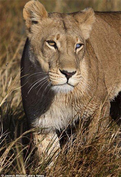 """Tôi nghĩ đó là nguyên nhân tại sao con sư tử cái không thể tấn công con mồi nhanh như những con sư tử bình thường khác"""", nhiếp ảnh gia 46 tuổi cho biết."""
