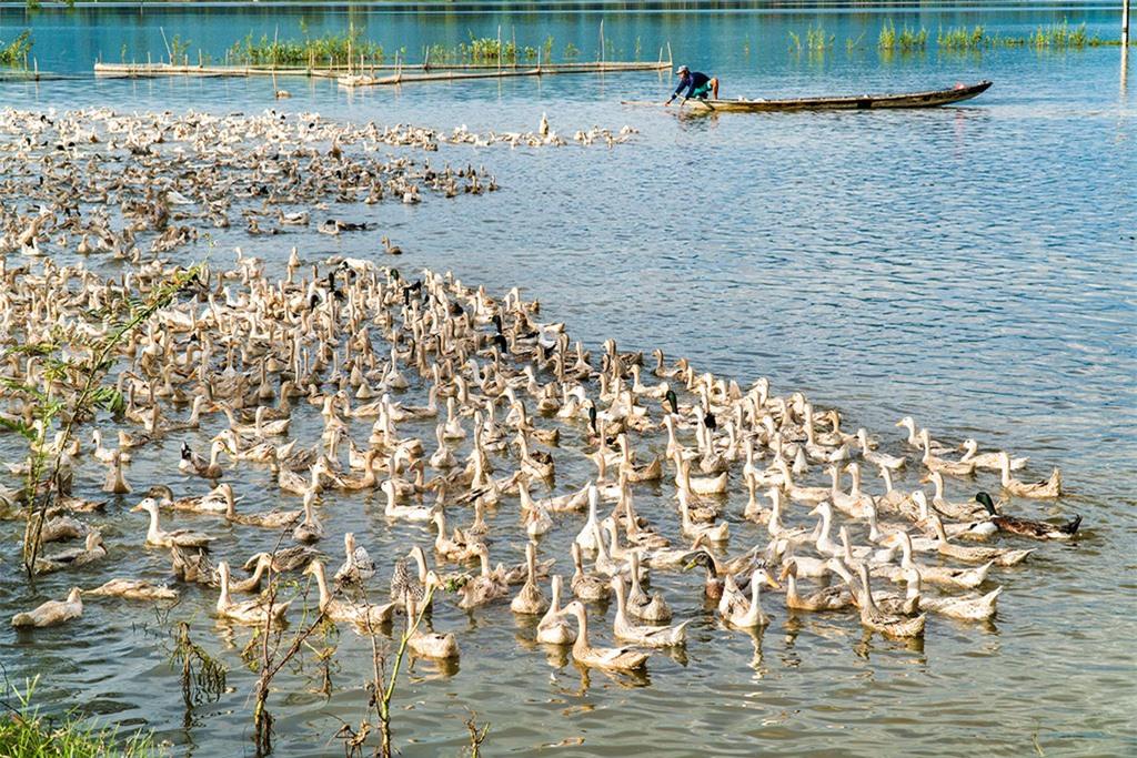 Mùa nước nổi cũng là mùa vịt chạy đồng - mùa thu hoạch của người dân miền sông nước