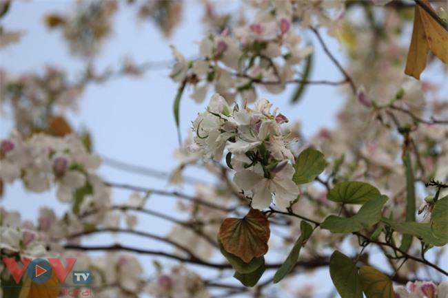 Từ những bông hoa ban trắng, ngọt ngào, quyến rũ.jpg
