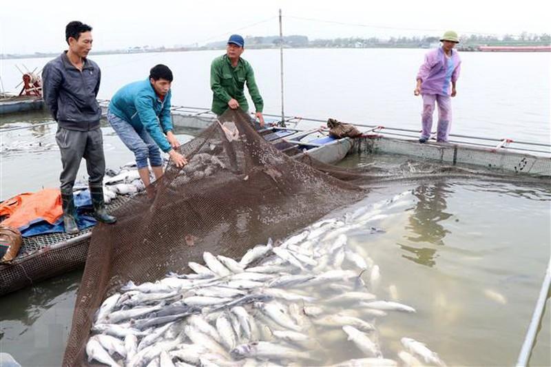 Cá chết hàng loạt trên sông Mã