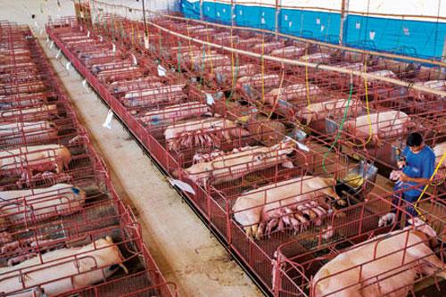 Giảm 50% mức thu phí trong chăn nuôi đến hết năm 2021