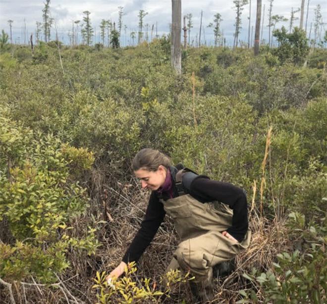 Thứ gì đó đang giết chết cây cối, biến những khu rừng ở bờ đông nước Mỹ thành rừng ma - Ảnh 3.