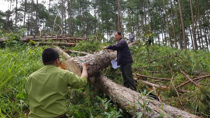 Ngành chức năng kiểm đếm thiệt hại một vụ phá rừng ở Lâm Đồng.