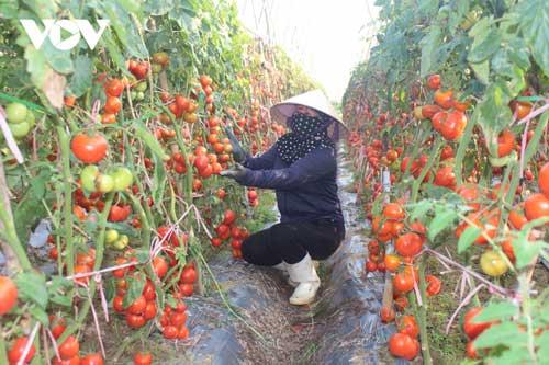 Xót xa cảnh cà chua chín đỏ rụng thối đầy đồng