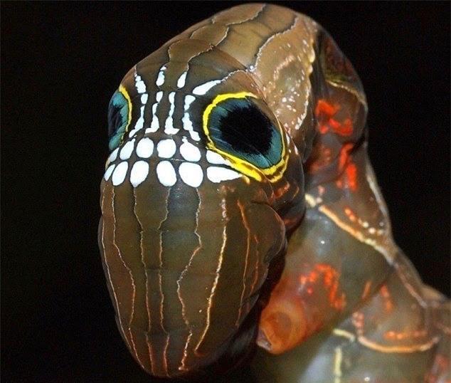 Loài sâu bướm này bắt chước một chiếc đầu lâu đáng sợ để đe dọa những kẻ săn mồi có ý định tấn công chúng - Ảnh 5.
