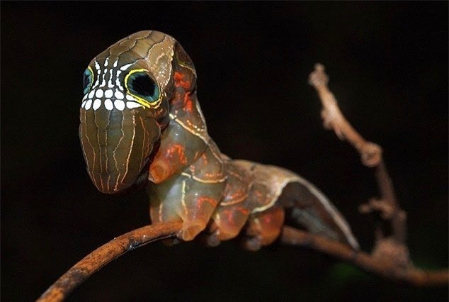 Loài sâu bướm này bắt chước một chiếc đầu lâu đáng sợ để đe dọa những kẻ săn mồi có ý định tấn công chúng - Ảnh 6.