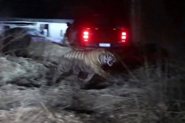 Con hổ tấn công người ở Trung Quốc.