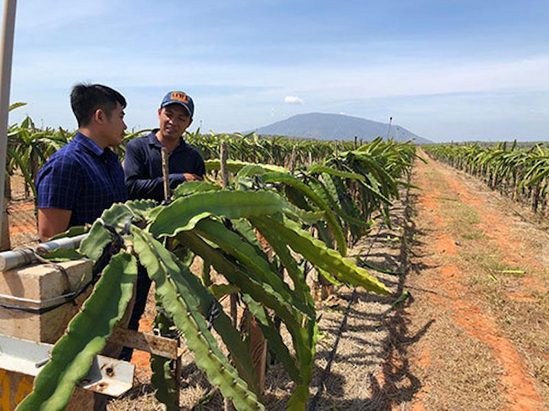 Trang trại thanh long Hồng Hà, huyện Hàm Thuận Nam