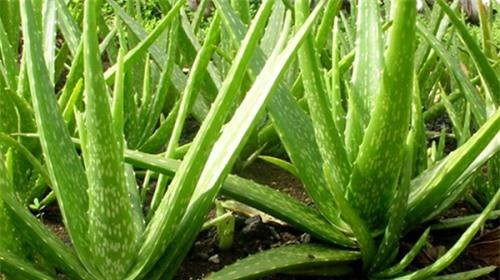 20 loại cây vừa là rau vừa là thuốc chữa bệnh vặt cực tốt, nhà có trẻ con càng cần phải có 1