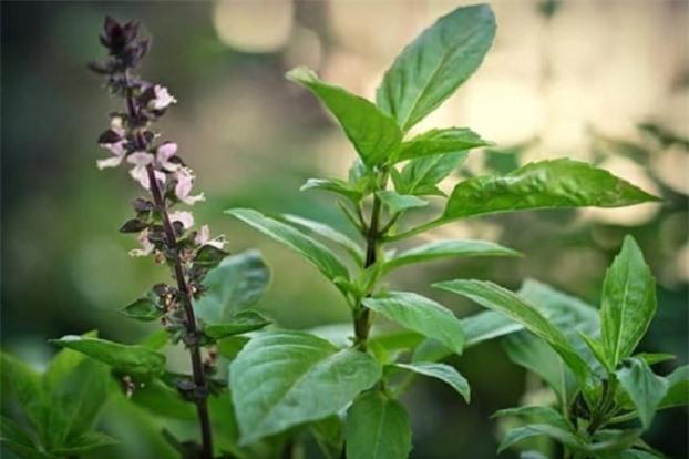20 loại cây vừa là rau vừa là thuốc chữa bệnh vặt cực tốt, nhà có trẻ con càng cần phải có 2