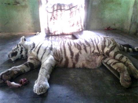 Chú hổ Rajan bị rắn hổ mang đen cắn chết