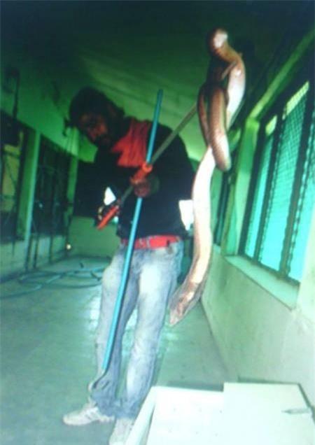Rắn hô mang đen bị thương nặng sau khi tấn công chú hổ Rajan